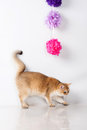 British shorthair cat Royalty Free Stock Photography