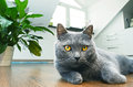 British shorthair cat Stock Photos