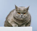 British shorthair cat blue on blue background Stock Photos