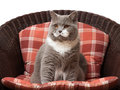British shorthair cat on the chair sitting Royalty Free Stock Images