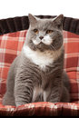 British shorthair cat on the chair sitting Stock Images