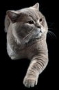 British Shorthair Cat Cutout Royalty Free Stock Images