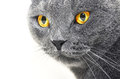 British shorthair cat detail british blue cat domesticated whose features make it a popular breed in shows Stock Photos