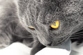 British shorthair cat detail british blue cat domesticated whose features make it a popular breed in shows Royalty Free Stock Photo