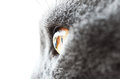 British Shorthair Cat Eye Deta...