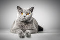 British Shorthair Cat Lying On...