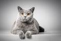 British Shorthair cat lying on white table Royalty Free Stock Photo