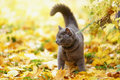 British shorthair cat outdoor walking in harness autumn time Royalty Free Stock Photo