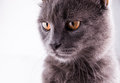 British Shorthair cat portrait on a white background Royalty Free Stock Photo
