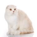 British Shorthair cat portrait on white Royalty Free Stock Photo