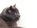 British shorthair cat portrait on a white selective focus with shallow depth of field Royalty Free Stock Images