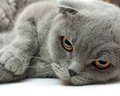British shorthair cat on white background Royalty Free Stock Image