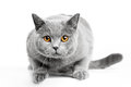 British Shorthair Cat  On Whit...