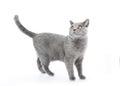 British Shorthair cat  on white. Standing Royalty Free Stock Photo