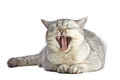 British Shorthair cat is yawning. Gray cat is lying and isolated on white background. Traditional British domestic cat, with a dis Royalty Free Stock Photo