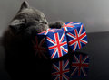 British shorthair cute cat kitten sleeping on two union jack dice Stock Images