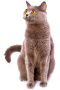 British shorthair gray cat with bright yellow eyes isolated on a Royalty Free Stock Photo