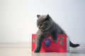 British Shorthair kitten Stock Photos