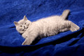 British Shorthair kitten Royalty Free Stock Images