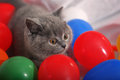 British shorthair kitten baby among coloured balloons Stock Images