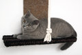 British shorthair kitten baby sitting in her playground Royalty Free Stock Photo