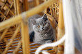 British shorthair kitten baby watching you Royalty Free Stock Photo