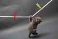 British Shorthair kitten on a cloth line Royalty Free Stock Photo