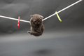 British Shorthair kitten on a cloth line Royalty Free Stock Photo