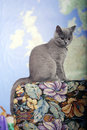 British shorthair kitten on the coach baby sitting Royalty Free Stock Image
