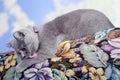 British Shorthair kitten on the coach Royalty Free Stock Photo