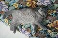 British shorthair kitten on the coach baby sleeping Royalty Free Stock Photos