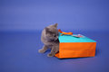 British shorthair kitten getting out of a small bag union jack label Stock Photography