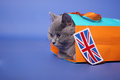British shorthair kitten getting out of a small shopping bag union jack label Royalty Free Stock Images