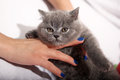 British shorthair kitten girl holding a in her hands Stock Photography