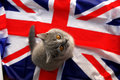 British shorthair kitten looking up while sitting on a union jack flag Stock Photo