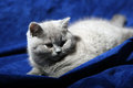 British shorthair kitten lying on a blue background Stock Photography