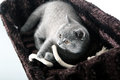 British shorthair kitten lying in her pet bed Stock Photo