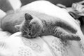 British shorthair kitten lying on the pillow Stock Images