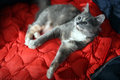 British shorthair kitten lying on a red jacket Royalty Free Stock Photography