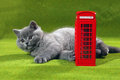 British shorthair kitten and a phone booth small red style Royalty Free Stock Image