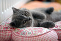 British shorthair kitten on a pillow small coloured Stock Images