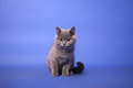 British shorthair kitten portrait on a blue background photo studio Stock Image