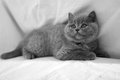 British shorthair kitten portrait of a grey baby Royalty Free Stock Photography
