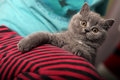 British shorthair kitten portrait of a grey baby close up view Stock Images