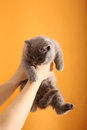 British shorthair kitten portrait of a grey baby orange background Royalty Free Stock Photos