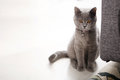 British shorthair kitten portrait of a orange eyes Stock Images