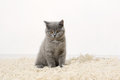 British shorthair kitten on the rug sitting Stock Photos