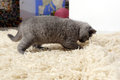 British shorthair kitten on the rug walking Stock Photos