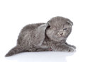 British shorthair kitten scratching.  on white backgroun Royalty Free Stock Photo