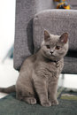 British shorthair kitten sitting on a green carpet Royalty Free Stock Photo